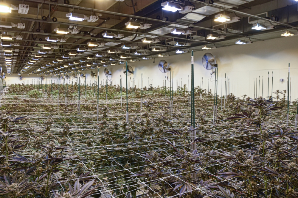 A typical cannabis flowering room at Stability Cannabis in Oklahoma City.